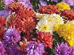 Fleurs chrysanthèmes.