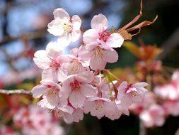 Fleurs de prunier.